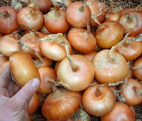 Produktbild Saatgut: Zwiebel 'Stuttgarter Riesen'