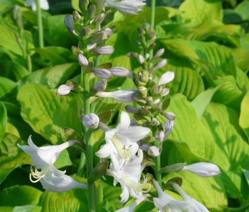 Produktbild Hosta Hybride 'August Moon'