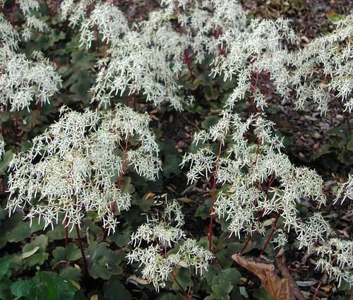Produktbild Saxifraga cortusifolia var. fortunei
