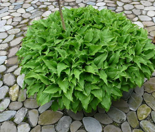 Produktbild Hosta minor