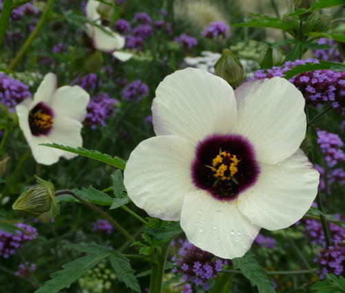 Produktbild Saatgut: Hibiscus trionum