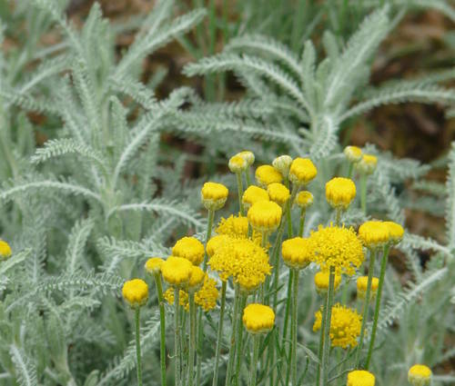 Produktbild Santolina chamaecyparissus