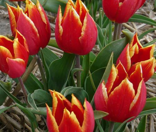 Produktbild Tulipa schrenkii
