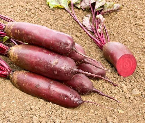 Produktbild Saatgut: Rote Rübe 'Forono'