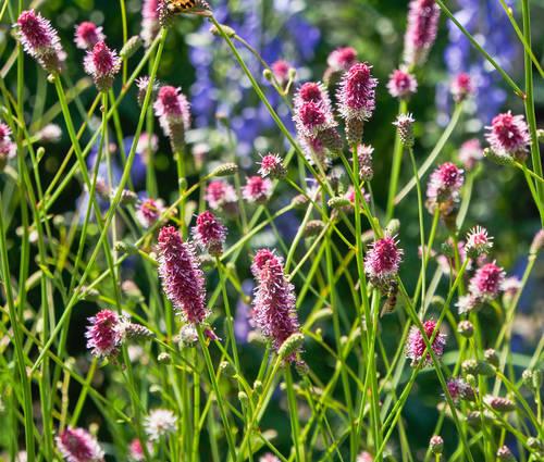 Produktbild Sanguisorba officinalis 'Pink Tanna'
