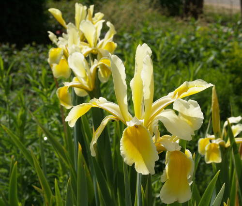 Produktbild Iris orientalis 'Moldovan'
