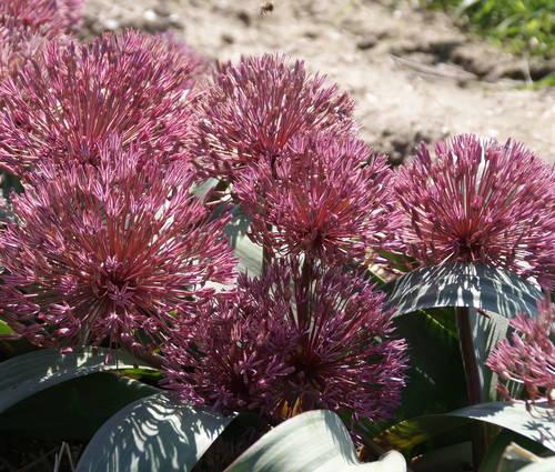 Produktbild Allium nevskianum