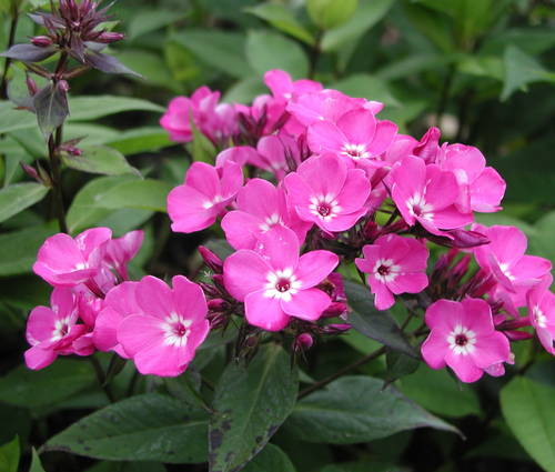 Produktbild Phlox paniculata 'Sweet William'
