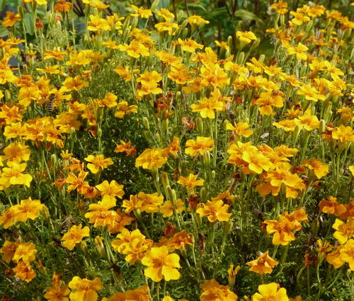 Produktbild Saatgut: Tagetes tenuifolia