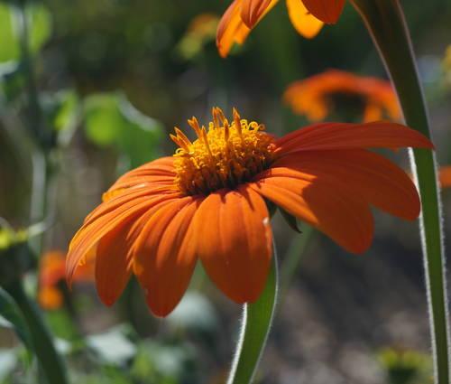 Produktbild Saatgut: Tithonia rotundifolia