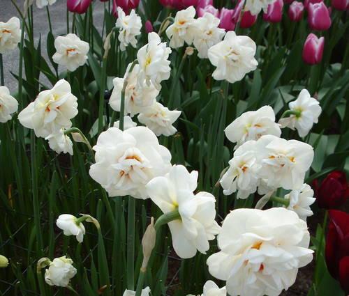 Produktbild Narcissus 'Acropolis'