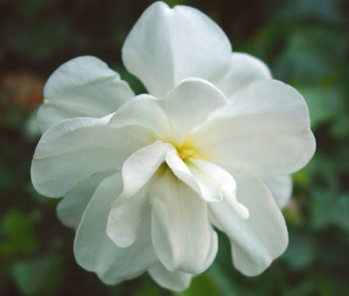 Produktbild Narcissus 'Albus Plenus Odoratus'