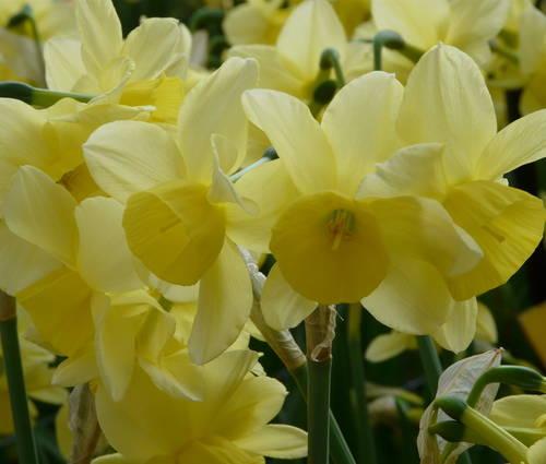 Produktbild Narcissus 'Stint'