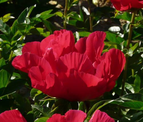 Produktbild Paeonia Hybride 'Scarlett O'Hara'