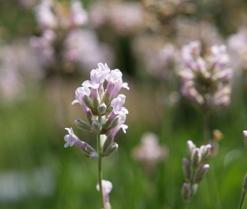 Produktbild Lavandula angustifolia 'Hidcote Pink'