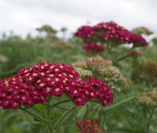 Produktbild Achillea Millefolium-Hybride 'Belle Epoque'