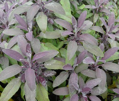 Produktbild Salvia officinalis 'Purpurascens'