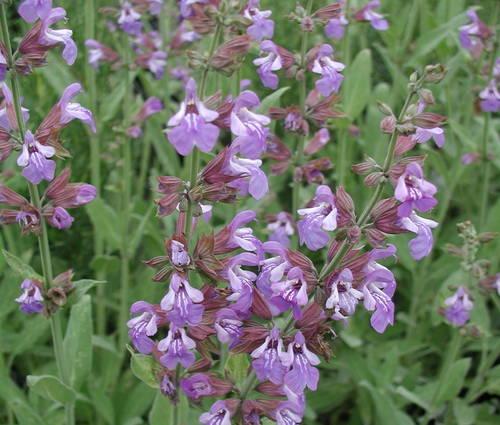 Produktbild Salvia officinalis 'Mittenwald'