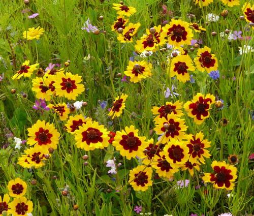 Produktbild Saatgut: Schmetterlingsnektar