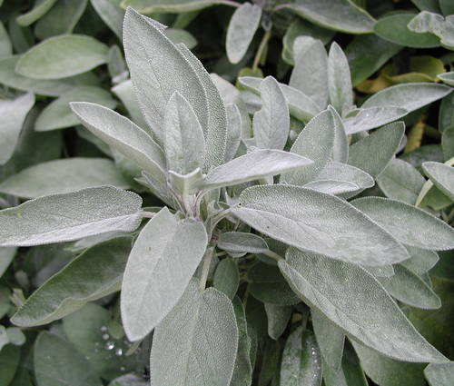 Produktbild Salvia officinalis
