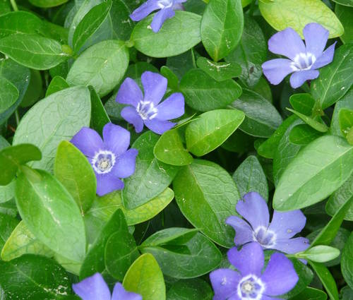 Produktbild Vinca minor