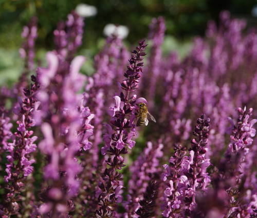 Produktbild Salvia nemorosa 'Eos'