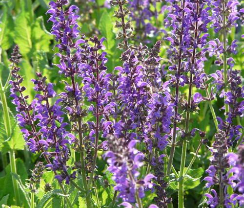 Produktbild Salvia nemorosa 'Mainacht'