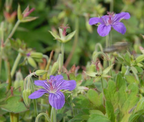 Produktbild Geranium wlassovianum