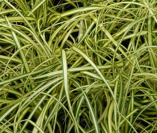 Produktbild Carex oshimensis 'Evergold'