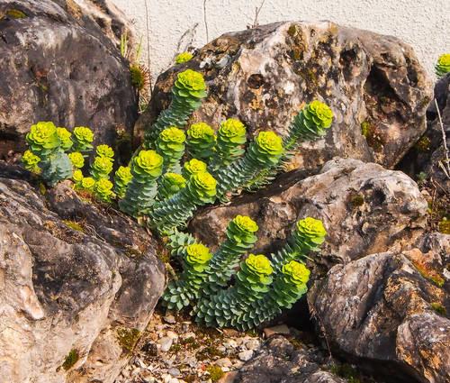 Produktbild Euphorbia myrsinites