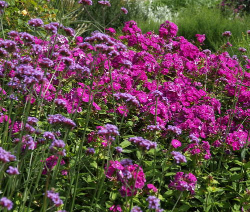 Produktbild Phlox paniculata 'The King'