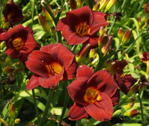 Produktbild Hemerocallis Hybride 'Little Joy'