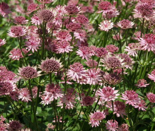 Produktbild Astrantia major 'Roma' ®