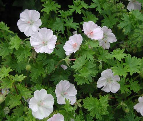 Produktbild Geranium sanguineum 'Apfelblüte'