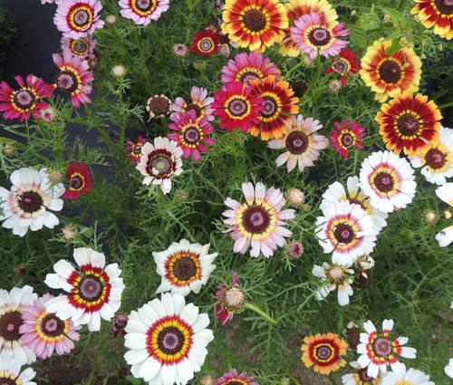 Produktbild Saatgut: Chrysanthemum carinatum 'Frohe Mischung'
