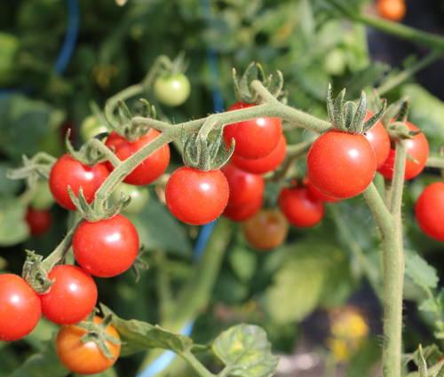 Produktbild Saatgut: Tomate 'Rote Ribisel'
