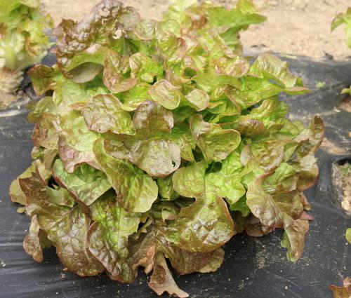 Produktbild Saatgut: Eichblattsalat 'Rubinette'