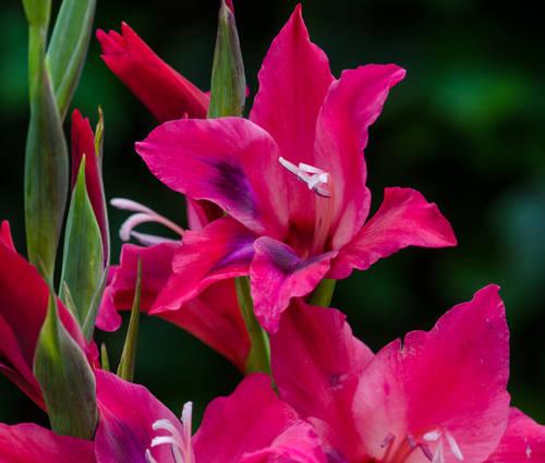 Produktbild Gladiolus nanus 'Vulcano'