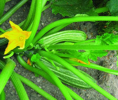 Produktbild Saatgut: Zucchini 'Costates Romanesco'
