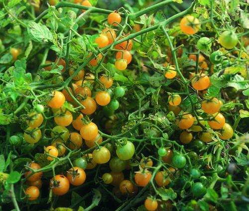 Produktbild Saatgut: Tomate 'Gelbe Johannisbeere'