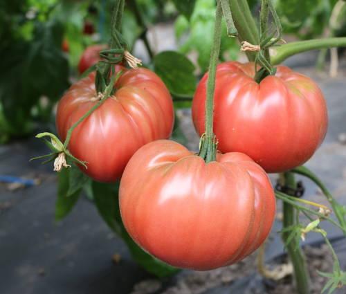 Produktbild Saatgut: Tomate 'Olena Ukrainian'