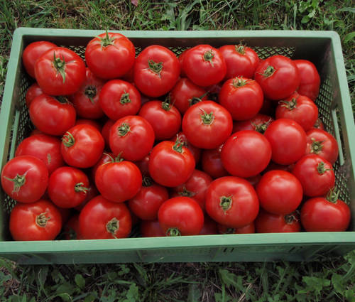 Produktbild Saatgut: Tomate 'St. Pierre'