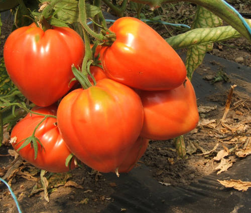 Produktbild Saatgut: Tomate 'Ochsenherz'