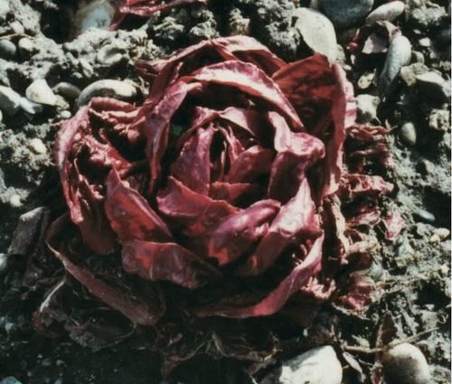 Produktbild Saatgut: Radicchio 'Rossa di Verona a palla'