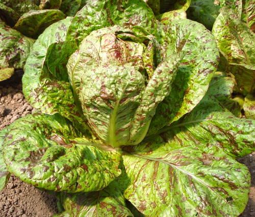 Produktbild Saatgut: Romanasalat 'Forellenschluss'