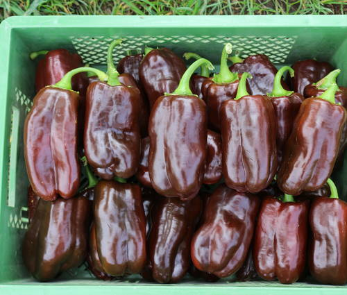 Produktbild Saatgut: Paprika 'Sweet Chocolate'