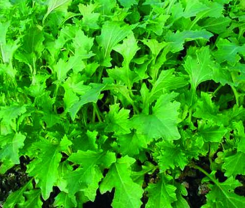 Produktbild Saatgut: Blattstielgemüse 'Namenia'