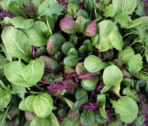 Produktbild Saatgut: Asiatisches Blattgemüse 'Oriental Mix'