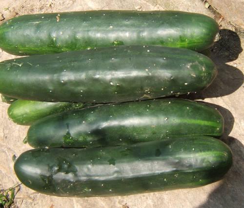 Produktbild Saatgut: Salatgurke 'Marketmore 76'