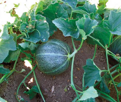 Produktbild Saatgut: Zuckermelone 'Petit gris de Rennes'